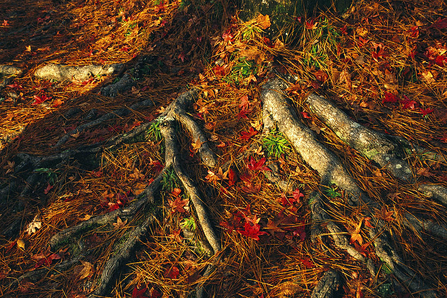 Oak Tree Roots And Pine Needles Photograph