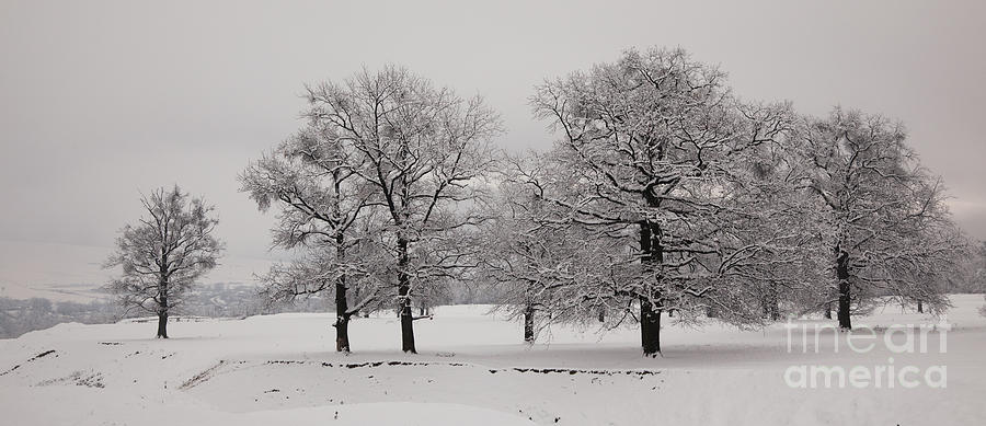 Oaks In Winter Photograph  - Oaks In Winter Fine Art Print
