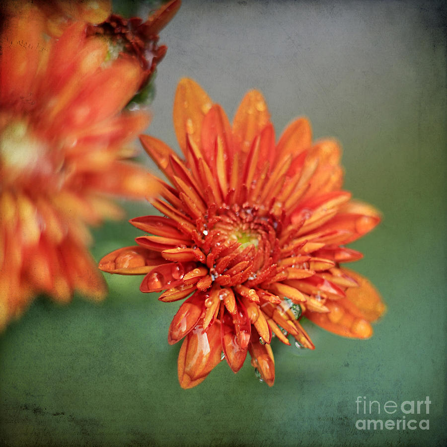 October Mums Photograph  - October Mums Fine Art Print
