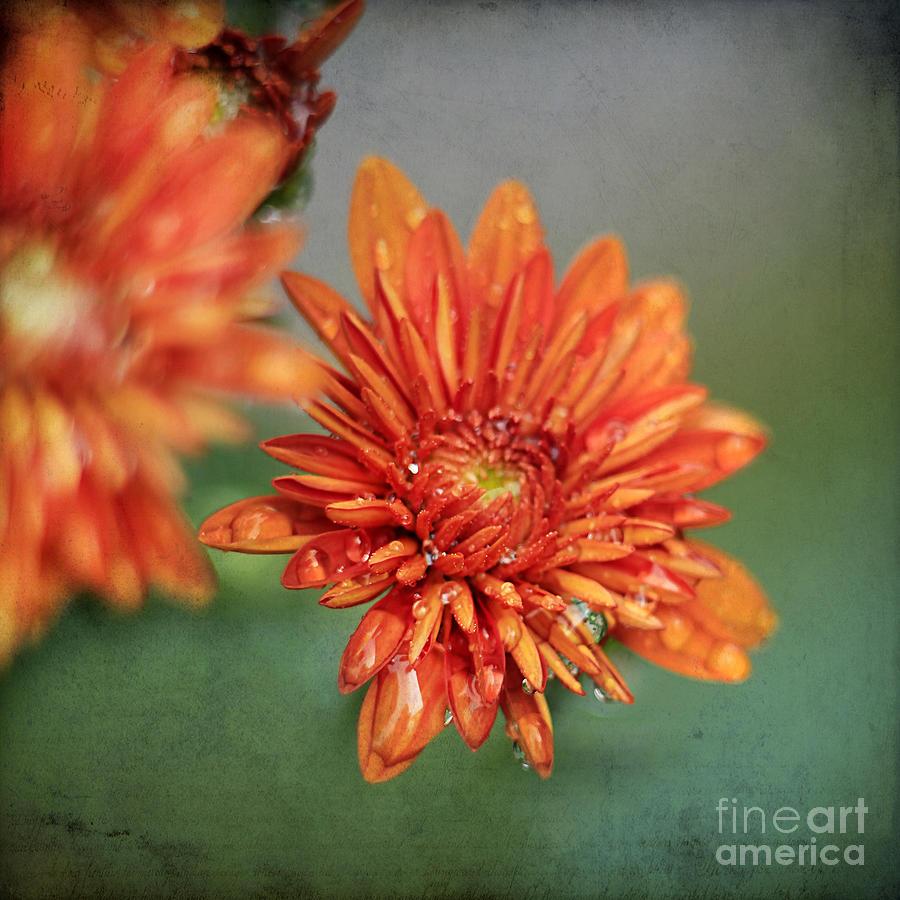 October Mums Photograph