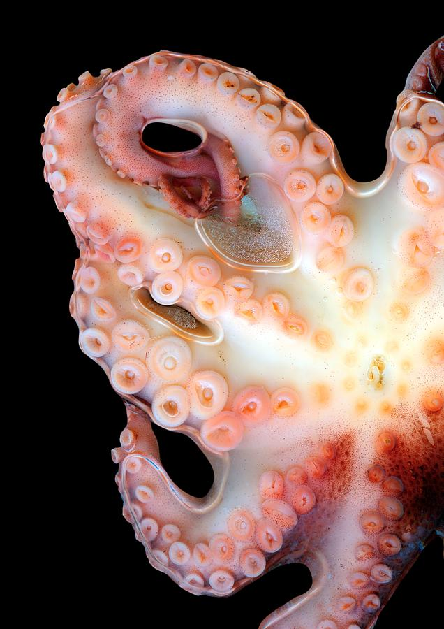 Animal Photograph - Octopus by Victor Habbick Visions