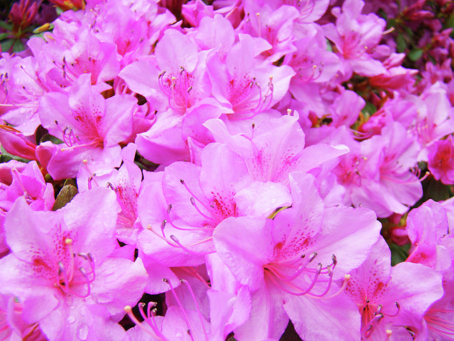 Office Art Azalea Flowers Botanical 31 Azaleas Giclee Art Prints Baslee Troutman Photograph  - Office Art Azalea Flowers Botanical 31 Azaleas Giclee Art Prints Baslee Troutman Fine Art Print