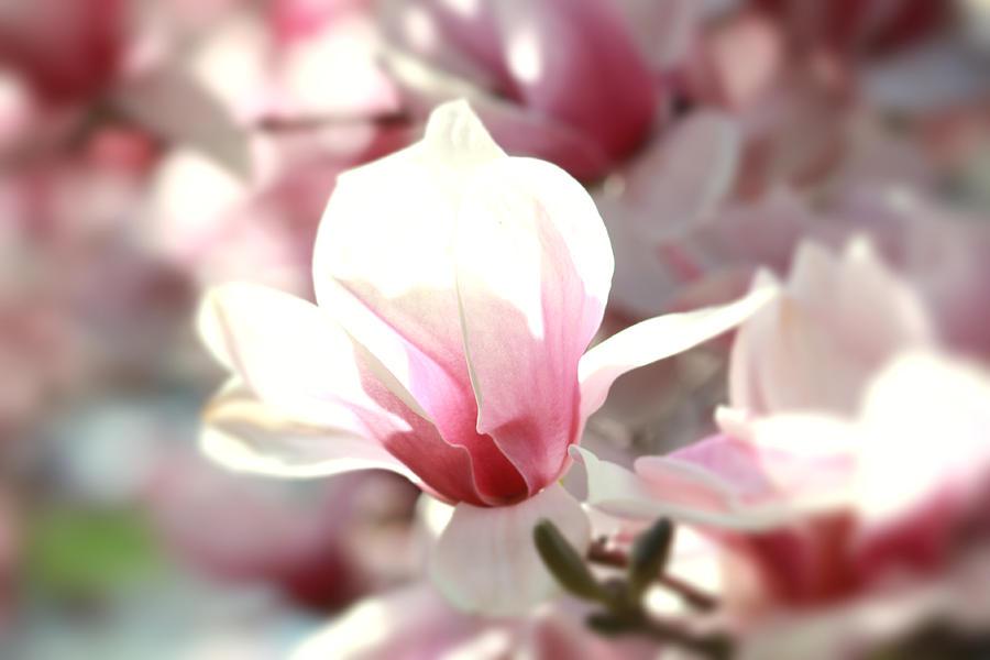 Saucer Magnolia Photograph - Oh Magnolia by Jenna Mackay