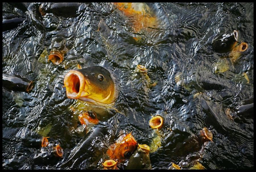 Okinawa koi fish feeding pyrography by robert fischer for Feeding koi fish