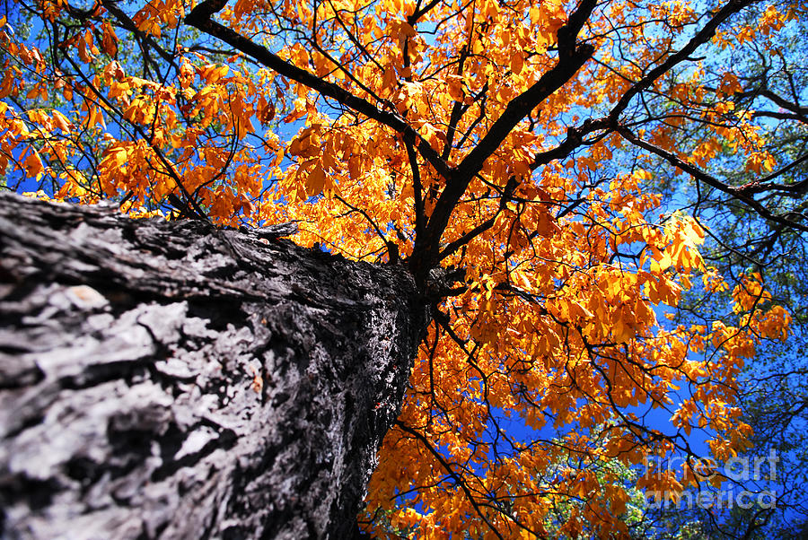 Old Elm Tree In The Fall Photograph  - Old Elm Tree In The Fall Fine Art Print