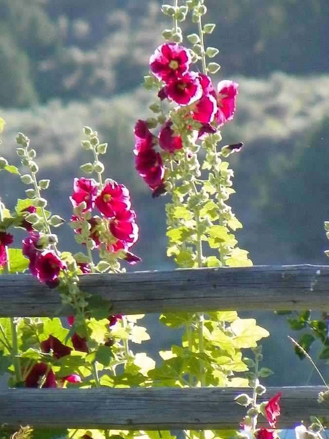 Old Fashioned Hollyhocks Photograph