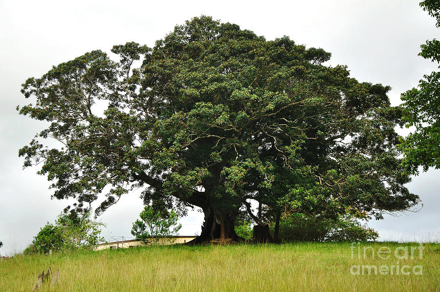 Old Fig Tree - Ficus Carica Photograph