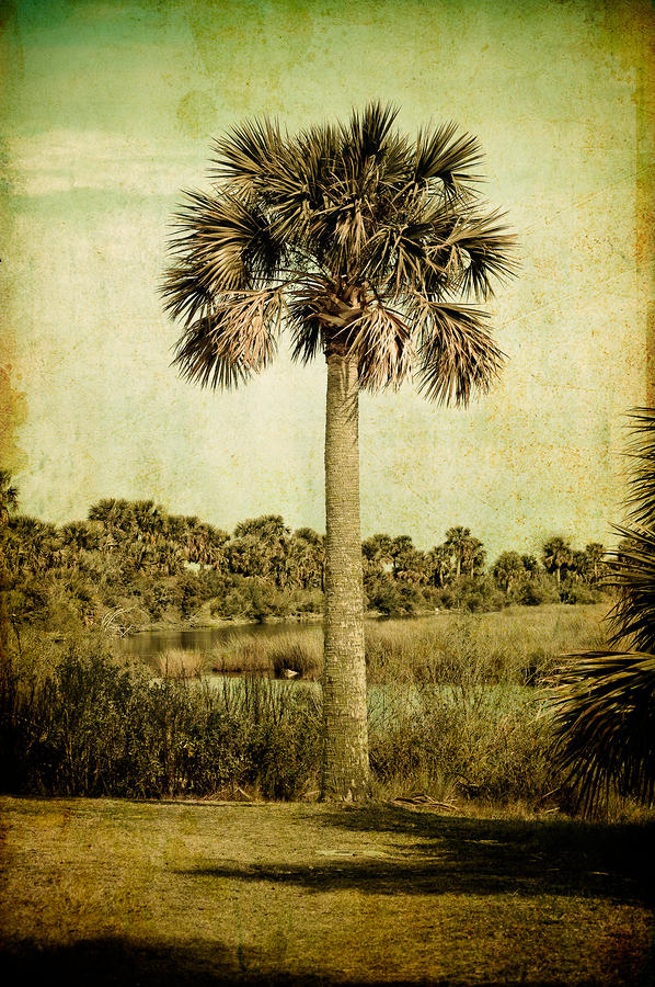 Old Florida Palm Photograph