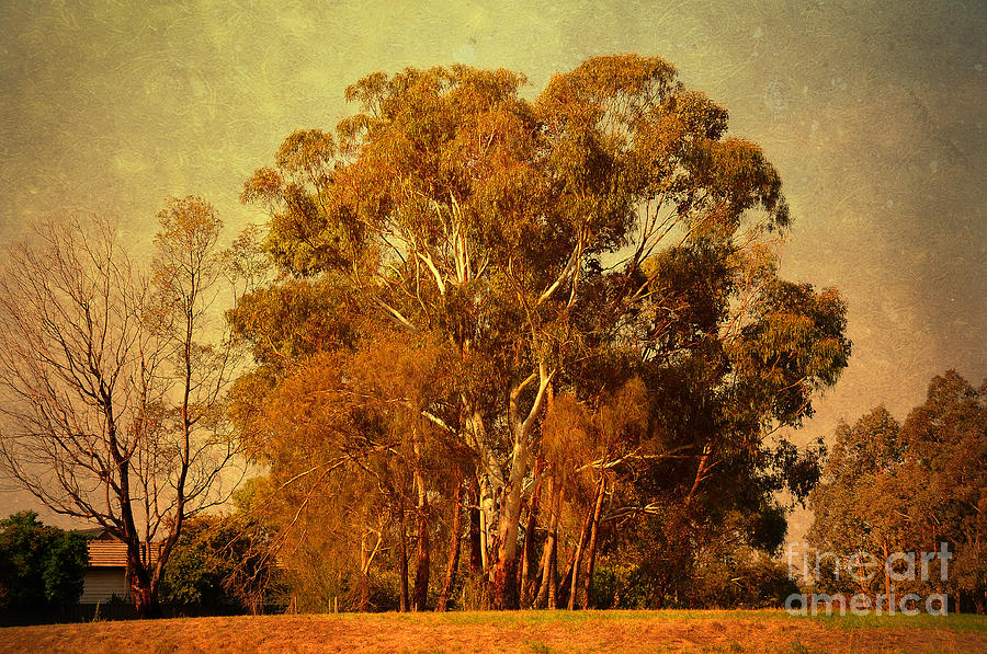 Old Gum Tree Photograph  - Old Gum Tree Fine Art Print