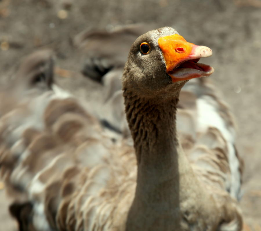 Old Mother Goose Photograph  - Old Mother Goose Fine Art Print