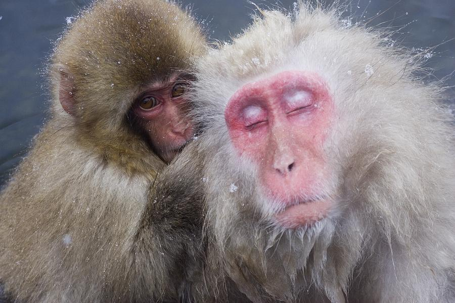 Older Snow Monkey Being Groomed By A Photograph