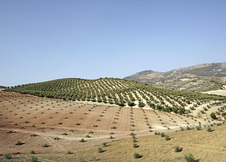 Olive Groves Photograph
