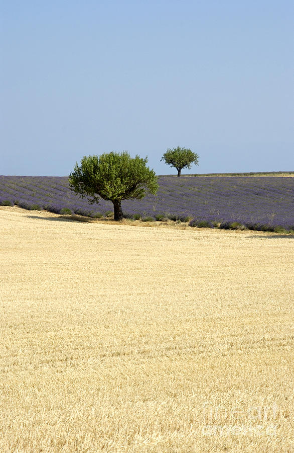 Olive Trees. Provence Photograph