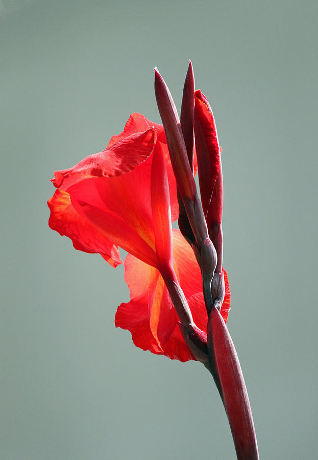 Lily Photograph - On Fire by Suzanne Gaff