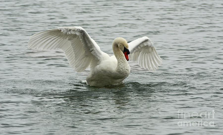 Mute Swan Landing Photograph - On The Wings Of A Swan by Inspired Nature Photography Fine Art Photography