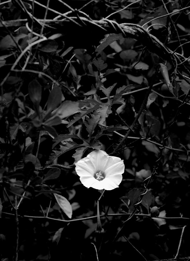 One Flower Black And White Photograph  - One Flower Black And White Fine Art Print