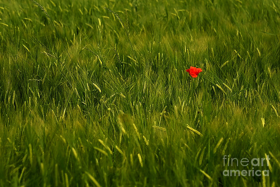 One Flower Photograph  - One Flower Fine Art Print