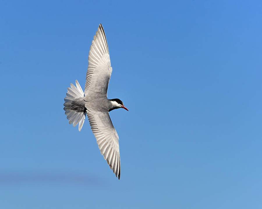 One Good Tern Deserves Another Photograph  - One Good Tern Deserves Another Fine Art Print