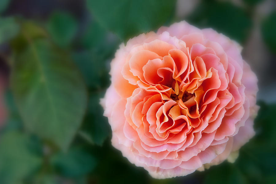 Nature Photograph - One Perfect Rose by Pamela Bycraft