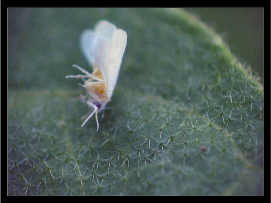 Onesixteenthinchwhiteaphid1 Photograph