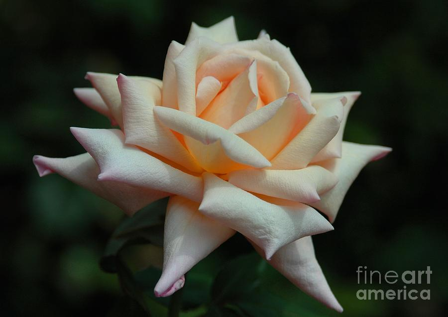 Only A Rose Photograph  - Only A Rose Fine Art Print