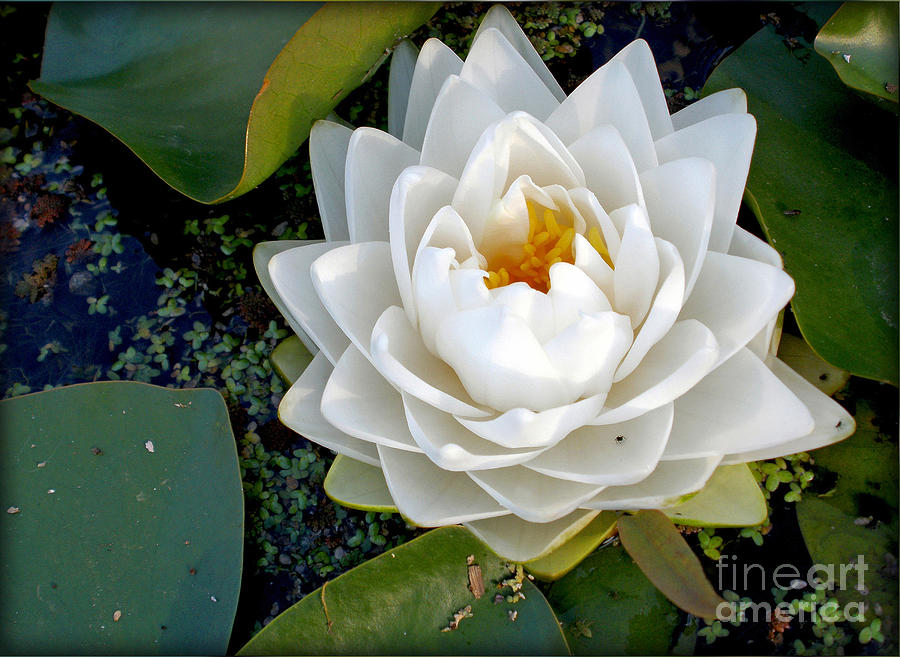 Photography Photograph - Optical Illusion In A Waterlily by Kaye Menner