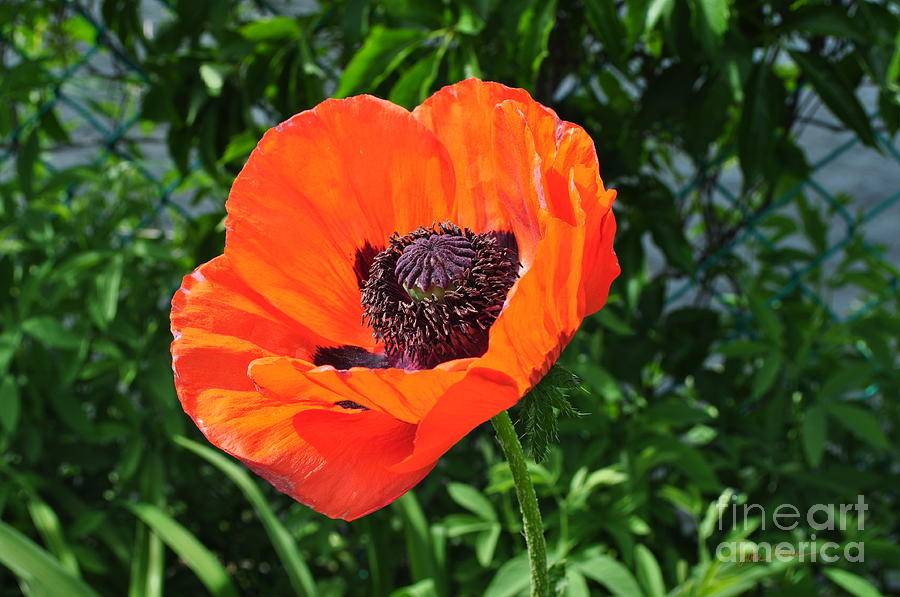 Orange Burst Photograph  - Orange Burst Fine Art Print