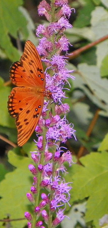 Orange Butterfly II Photograph