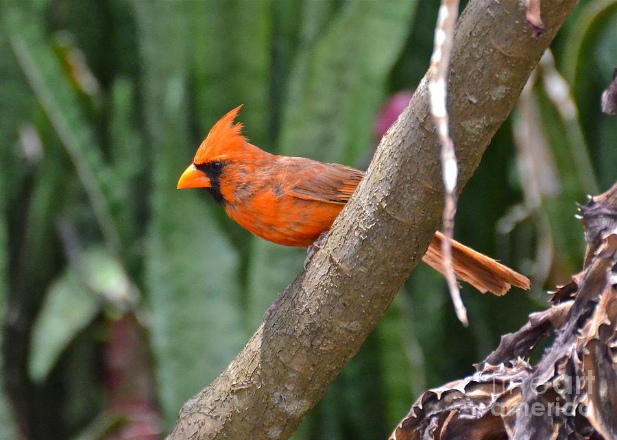 Orange Cardinal Photograph