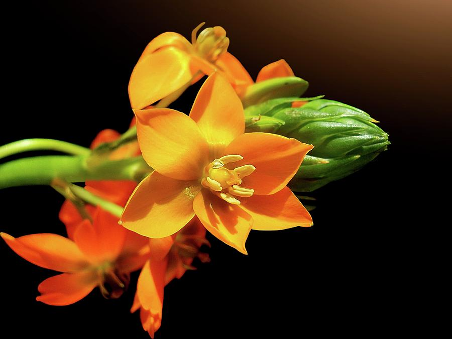 Orange Chincherinchee Photograph