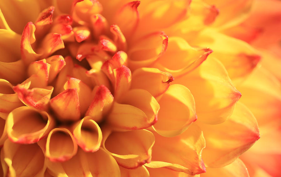 Orange Dahlia Photograph  - Orange Dahlia Fine Art Print