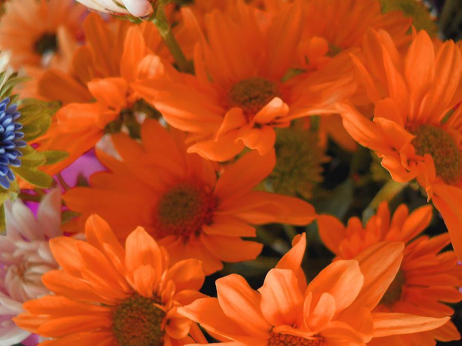 Orange Daisies Orange daisies photograph