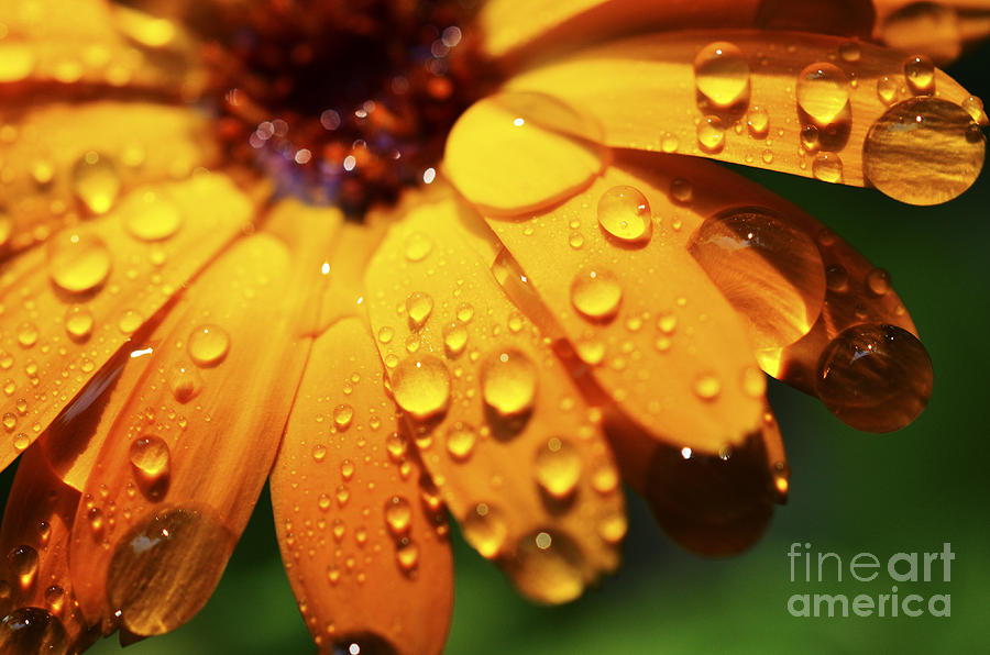 Orange Daisy And Raindrops Photograph