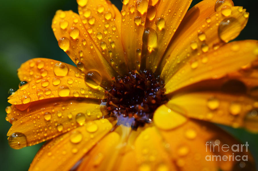 Orange Daisy In The Rain Photograph