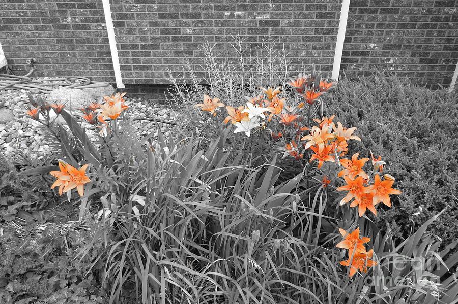 Orange Day Lilies. Photograph