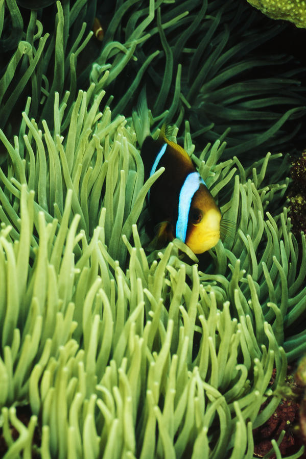 Orange-fin Anemone Fish, Amphiprion Photograph