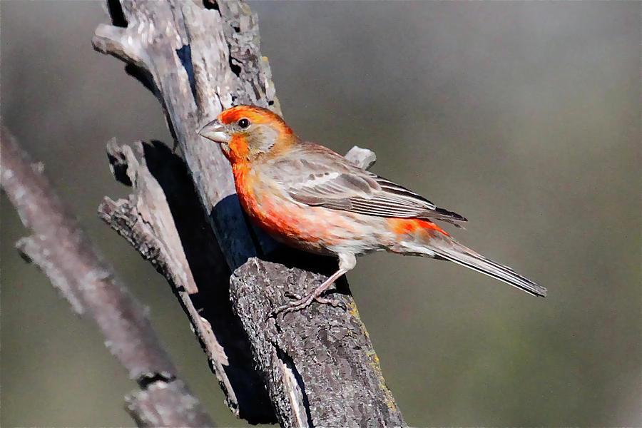 Orange finch birds - photo#1