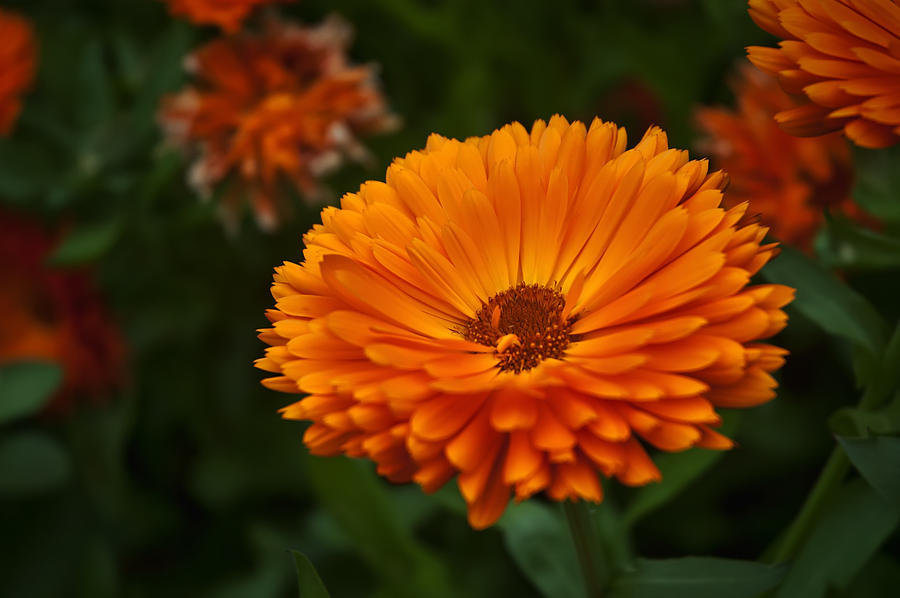 Orange Flower At The Manor Photograph  - Orange Flower At The Manor Fine Art Print