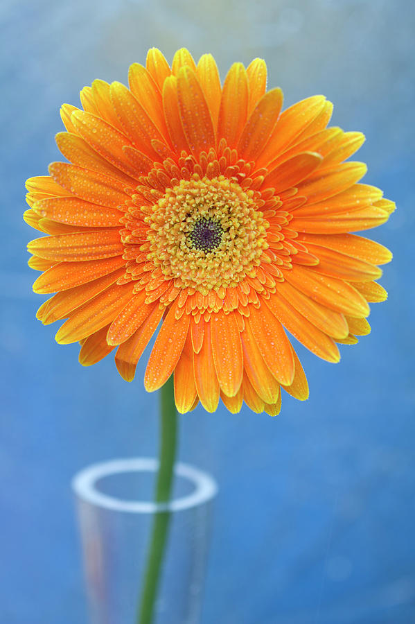 Orange Gerbera Daisy  Propped In Glass Vase Photograph