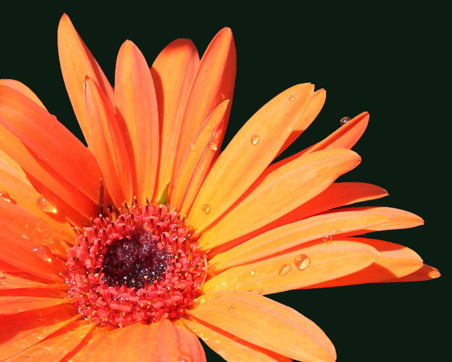 Orange Gerbera On Black Right Side  Photograph