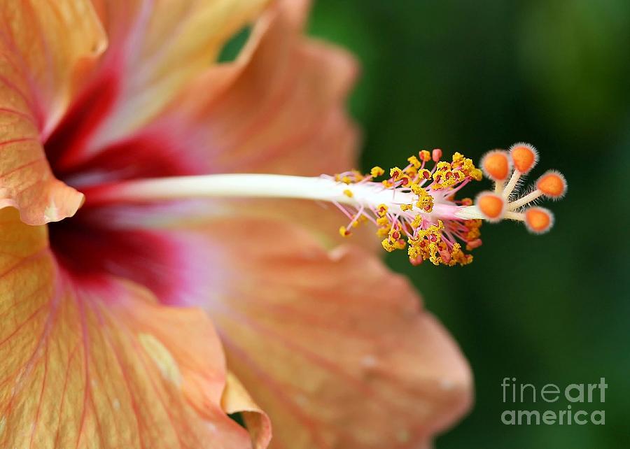 Hibiscus Photograph - Orange Hibiscus by Sabrina L Ryan