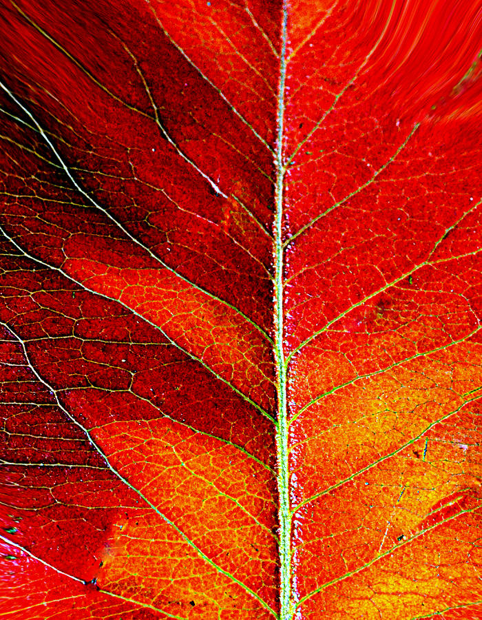 Leaf Photograph - Orange In Autumn.... by Tanya Tanski