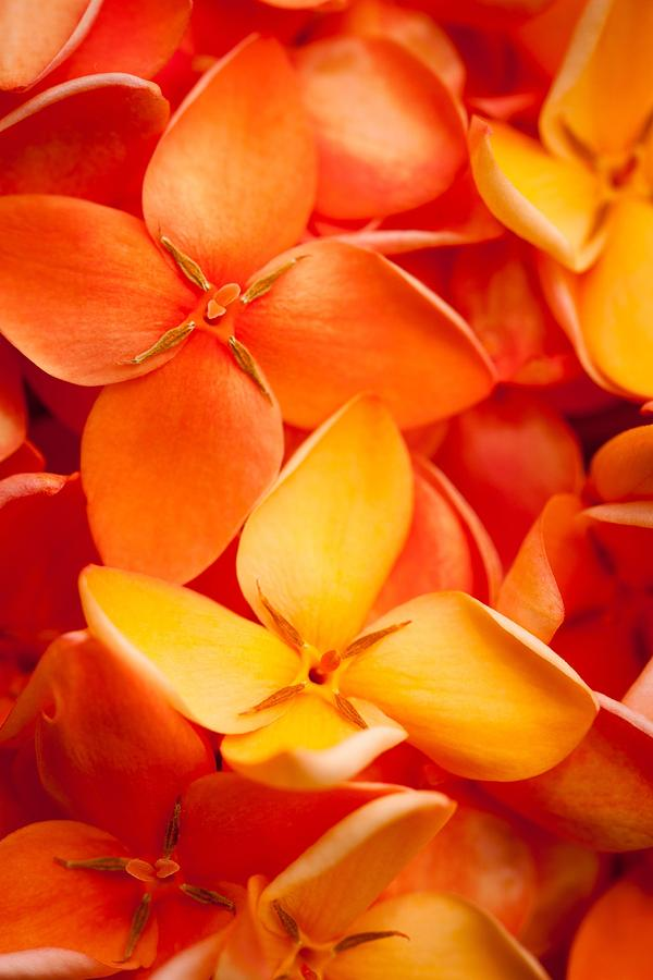 Orange Jungle Flame Flower Photograph