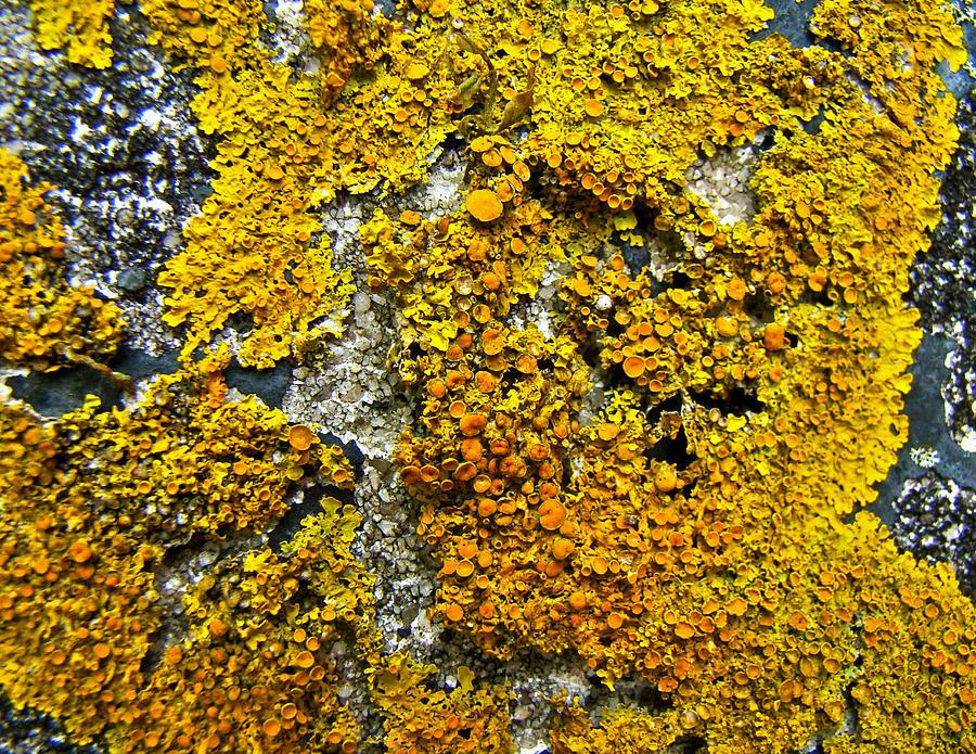 "Pembrokeshire Coastal Photography: ""Xanthoria Parietina"" Lichen"