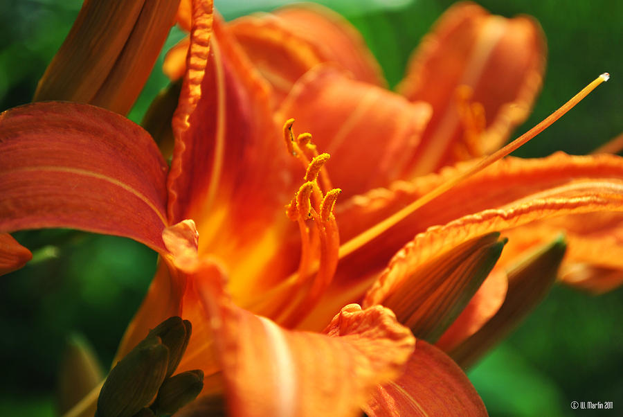 Orange Lily At Sunset Photograph 