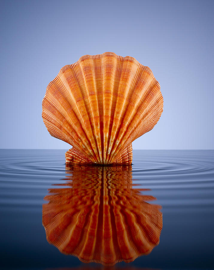 Orange Lion Paw Shell In A Pool Of Water Photograph