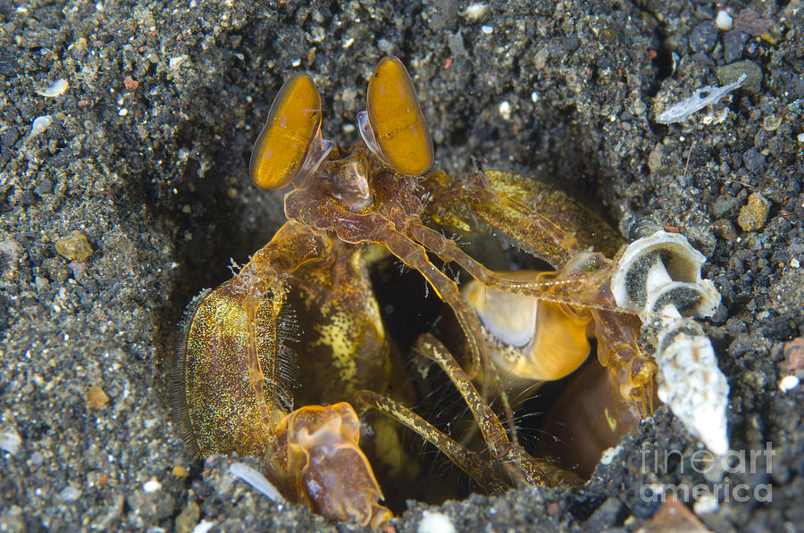 Orange Mantis Shrimp In Its Burrow Photograph  - Orange Mantis Shrimp In Its Burrow Fine Art Print