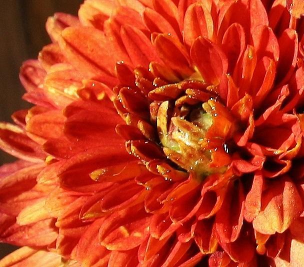 Orange Mum Photograph
