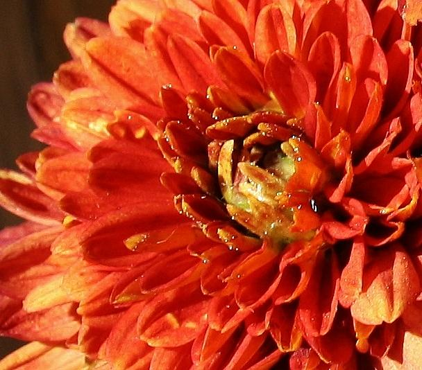 Flora Photograph - Orange Mum by Bruce Bley