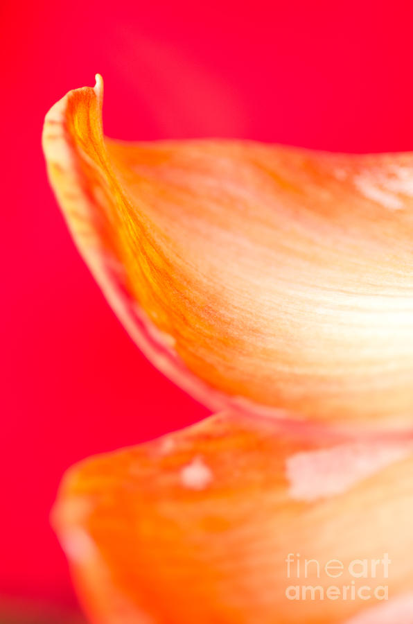 Orange Petals Pt Orange Amaryllis Petals On Red Background Photograph